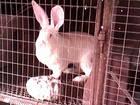 Скачать foto Грызуны кролики бельгийский фландер и белого великана 65179127 в Липецке