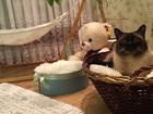 Скачать фотографию  Тайский кот ищет кошечку для вязки любой породы, срочно! 67694228 в Липецке