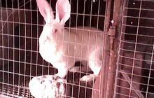 Кролики бельгийский фландер и белого великана