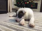 Изображение в Отдам даром - Приму в дар Отдам даром Пушистый беленький щенок Бим ищет себе хозяев, в Лобне 0