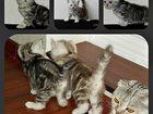 Фото в Кошки и котята Продажа кошек и котят Продаются клубные чистокровные шотландские в Магнитогорске 0