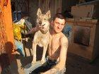 Изображение в Собаки и щенки Вязка собак Западносибирская лайка ищет кобеля с целью в Магнитогорске 0