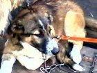 Фотография в Отдам даром - Приму в дар Отдам даром Щенок девочка ест всё, обработана от паразитов, в Магнитогорске 0
