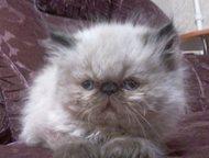 персидские котята, девочки помёт 19. 02. 15. едят сами к лотку приучены. голубог