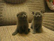 продам британских и шотландских котят продам британских и шотландских котят окрасы лиловый, голубой, мрамор на серебре , а так же британская шиншилла , Магнитогорск - Продажа кошек и котят