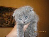 Магнитогорск: продам британских и шотландских котят продам британских и шотландских котят окрасы лиловый, голубой, мрамор на серебре , а так же британская шиншилла