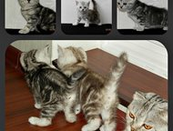Шотландские котята с документами Продаются клубные чистокровные шотландские котя