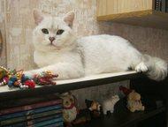 Кот вязка Британский кот окраса серебристая шиншилла ns 11 приглашает кошечек на