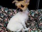 Изображение в Собаки и щенки Выставки собак предлагаем на продажу щенка чихуахуа. мальчик в Краснодаре 15000