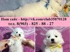 Фото в Собаки и щенки Продажа собак, щенков Продам замечательных щеночков самоедской в Медвежьегорске 0