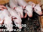 Скачать изображение Другие животные Поросятамесячные 34101839 в Мичуринске