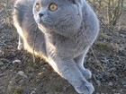 Скачать foto Вязка Британский кот ищет кошечку для любви 32488710 в Минске