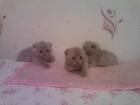 Фотография в Кошки и котята Продажа кошек и котят красивые плюшевые котята мальчики и девочки в Минске 1800000