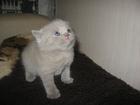 Фотография в Кошки и котята Продажа кошек и котят красивые плюшевые котята мальчики прямоухие в Минске 1200000