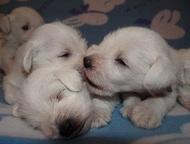 Щенки цвергшнауцера белого окраса Купить щенка цвергшнауцера редкого, для Минска