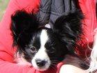 Фото в   Продается подрощенный щенок папийона для в Москве 18000