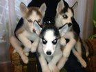 Изображение в Домашние животные Разное Ищут своего хозяина очаровательные щенки в Москве 15000