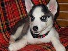 Фото в Домашние животные Разное Продается чистокровный щенок Сибирский хаски в Москве 15000