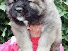 Свежее изображение Услуги для животных ЩЕНКИ КАВКАЗСКОЙ ОВЧАРКИ 34101816 в Москве
