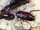 Изображение в Прочее,  разное Разное Травля (выведение) тараканов, постельных в Москве 1500