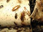 Фото в Услуги компаний и частных лиц Разные услуги Борьба с тараканами. Уничтожение, травля в Москве 1500