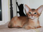 Просмотреть foto Разное Абиссинские котята,американские линии 34755479 в Москве
