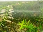 Изображение в Рыбки (Аквариумистика) Растения Продаю аквариумные растения:  валлиснерия в Москве 0