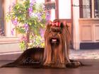 Скачать бесплатно фото Вязка собак Йоркширский терьер, шоколадного окраса, приглашает на вязку 35835226 в Москве
