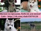 Изображение в   Продаются замечательные щеночки хаски! Чистокровные в Москве 8000