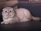 Фото в Домашние животные Разное Фолд. Гранд Еврочемпион Князь Кевин MILENBRIT в Москве 6000