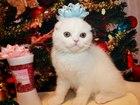 Свежее foto Другие животные Шотландские котята и карликовые крольчата 37958137 в Москве