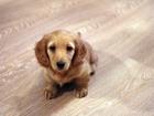 Просмотреть изображение Разное Клубные щенки миниатюрной таксы кремового окраса 38713095 в Москве