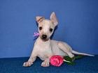 Фотки и картинки Китайская хохлатая собака смотреть в Москве
