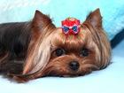 Скачать изображение Вязка собак Йоркширский терьер для вязок, Мини стандарт 39337368 в Moscow