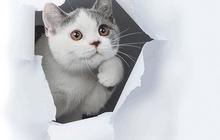 Британские котята , уют и тепло вашего дома