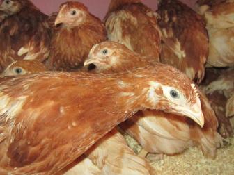 Скачать бесплатно изображение Птички Фермерское хозяйство реализует птицу 38553484 в Москве
