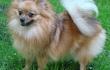 Продается подрощенный ( 11 мес. ) щенок немецкого