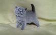 Продаются очаровательные британские котята