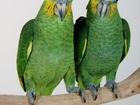 Уникальное фото Птички и клетки Амазон венесуэльский 32119576 в Москве
