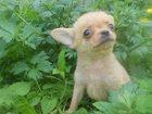 Фотография в Собаки и щенки Продажа собак, щенков бело-кремовый окрас смышленыш. Очень классный, в Москве 8000