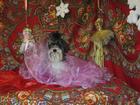 Свежее изображение  Бивер йорк для ценителей породной красоты! 32355738 в Москве