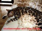 Свежее изображение  Шикарные бенгальские котята с подарками 32450685 в Санкт-Петербурге