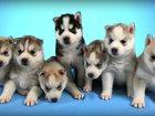 Фотография в Собаки и щенки Продажа собак, щенков Порода: Сибирская хаски   Представляем новый в Москве 25000