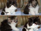 Изображение в Кошки и котята Продажа кошек и котят Персидские и экзотические котята из питомника в Москве 40000