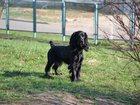 Свежее foto Продажа собак, щенков Щенки английского кокер спаниеля 32549493 в Москве