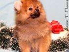 Скачать изображение Собаки и щенки Померанского шпица щенков продаю, девочек и мальчиков, окрас оранж и оранжевый соболь, с хорошей набивной шерсткой 32555472 в Москве