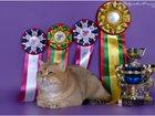 Увидеть фото Кошки и котята БРИТАНСКАЯ ЗОЛОТАЯ ШИНШИЛЛА 32599607 в Санкт-Петербурге