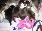 Скачать фото  Щенки Чихуахуа 32613391 в Красноярске
