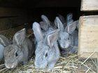 Скачать фото  Продам кроликов, 32728895 в Оренбурге