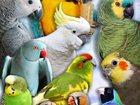 Изображение в Домашние животные Птички Приму в дар самку какаду желтохохлую, розелла в Москве 0